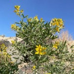 top 25 native california plants
